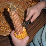 Fall Montessori Works ~ Fun with Field Corn
