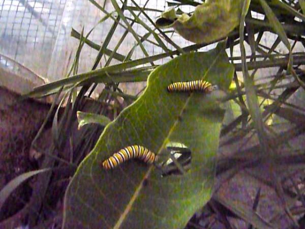 Monarch-Caterpillars-2