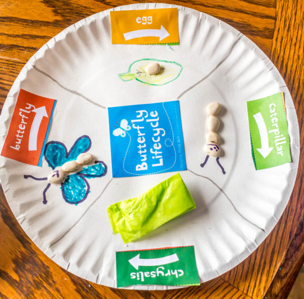 Lifecycle-Of-A-Butterfly